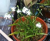 20050825のサギ草の花