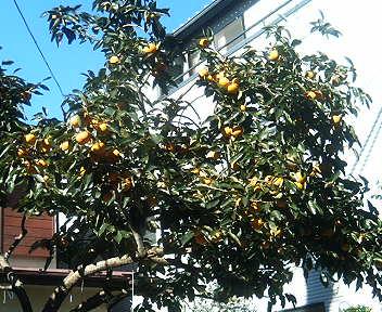 2005/10/23秋の収穫「柿」
