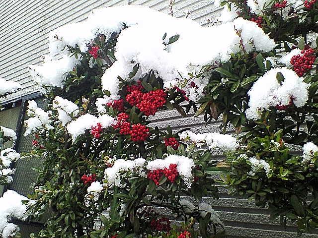 ピラカンサに雪